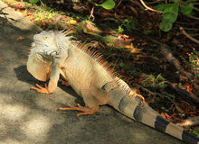 Iguana in Cancun Mexico. Orange Iguana with black striped tail in Cancun Mexico stock image