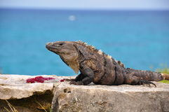 Iguana caraibica, Messico Fotografia Stock Libera da Diritti