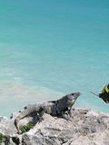 Iguana caribbean Royalty Free Stock Photography