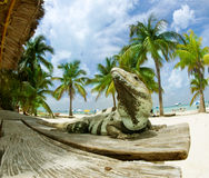 Iguana on The Caribbean Beach. Isla Mujeres, Mexico Stock Images