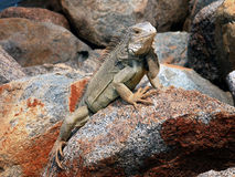 Iguana. In the Carribean,Aruba island stock photos