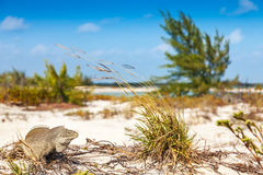 Iguana Cay inhabitants gave it the nickname. Little Water Cay is known as Iguana Island, Turks and Caicos Stock Photos