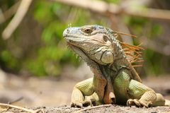 Iguana of Central America: Side face  Profile Stock Photography