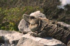 Iguana cercana para arriba en rocas Fotos de archivo libres de regalías