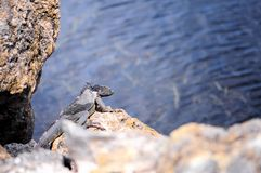 Iguana changing skin, Florida Royalty Free Stock Image
