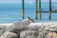 Iguana che espone al sole sulle rocce Immagini Stock Libere da Diritti
