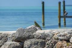 Iguana che espone al sole sulle rocce Immagini Stock
