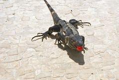 Iguana che mangia ciliegia Fotografia Stock Libera da Diritti