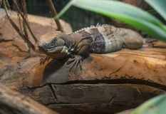 Iguana che mette su un albero fotografia stock libera da diritti