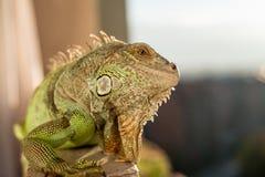Iguana che posa al sole ed al rilassamento Fotografia Stock