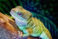 Iguana che riposa su un ceppo Fotografie Stock Libere da Diritti