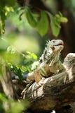 Iguana che scala e che cammina sul ramo di albero fotografia stock