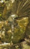 Iguana che si siede su una roccia Immagine Stock