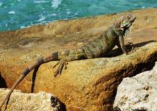 Iguana che si siede su una roccia di riva dell'oceano Fotografia Stock