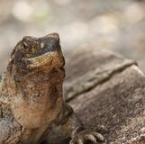 Iguana che si siede su una roccia che si espone al sole Fotografie Stock Libere da Diritti