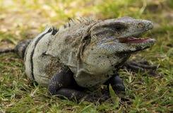 Iguana che si siede sull'erba Fotografia Stock