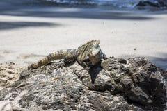 Iguana che si siede sulla pietra Fotografie Stock
