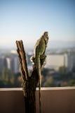 Iguana che striscia su un pezzo di legno e di posa Immagine Stock Libera da Diritti