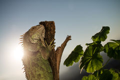 Iguana che striscia su un pezzo di legno e di posa Fotografia Stock