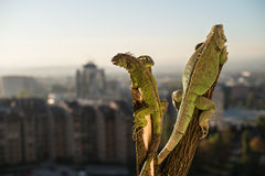Iguana che striscia su un pezzo di legno e di posa Fotografie Stock Libere da Diritti