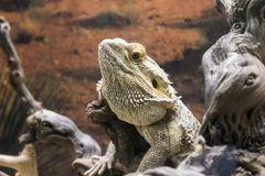 Iguana chill. And dream in naturale habitat royalty free stock photos