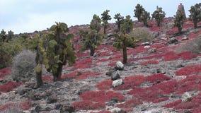 Iguana chodzi wśród kaktusów na Galapagos wyspach zbiory wideo