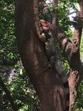 Iguana chuje w drzewie Fotografia Royalty Free