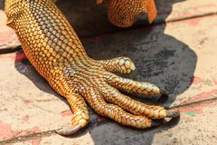 Iguana claw Royalty Free Stock Photo