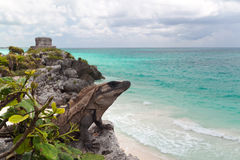 Iguana on the cliff Stock Photo