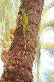 Iguana climbing tree. A iguana climbs a palm tree Royalty Free Stock Photo