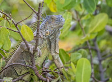 Iguana climbing a tree with dark green leaves. Close up of an Iguana climbing a tree with dark green leaves royalty free stock image