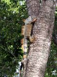 Iguana climbing a tree royalty free stock images