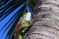 Iguana climbing tree tropical beach setting Royalty Free Stock Photos
