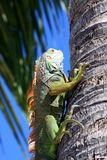 Iguana climbing tree tropical beach setting Stock Photos