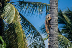 Iguana climbing tree trunk Stock Photography