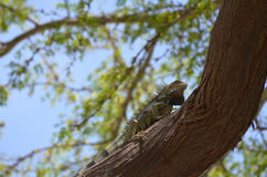 Iguana Climbing Up a Tree Trunk Stock Photography