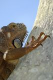 Iguana climbs. Iguan hides behind this tree. No I don't see him. Do you Stock Photos