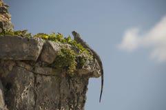 Iguana clinging to Tulum ruins Royalty Free Stock Images