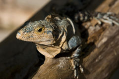 Iguana from close up Stock Photography