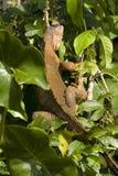 Iguana close up Stock Photos
