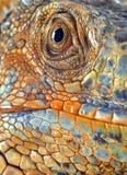 Iguana close up. Texture macro of rown up big male Iguana Stock Photo