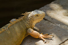 Iguana. Close up. Stock Image