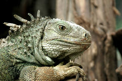 Iguana. The Iguana in close up Stock Photo