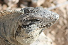 Iguana Close-up. A close-up of an iguana at Punta Sur, Isla Mujeres, Mexico Royalty Free Stock Images