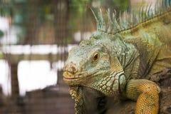 Iguana. Close up an iguana eye`s Stock Photos