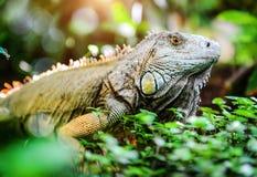Iguana Royalty Free Stock Image