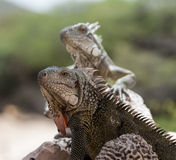 Iguana close up Royalty Free Stock Photography