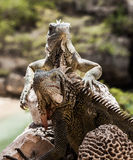 Iguana close up Stock Images