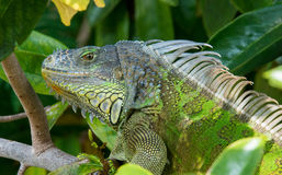 Iguana Close Up Stock Photography