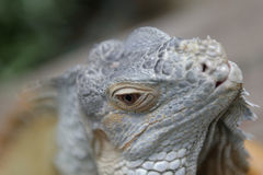 Iguana close up stock photo